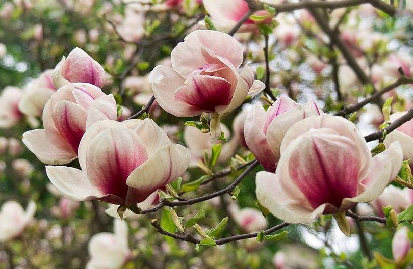 Магнолии цветут